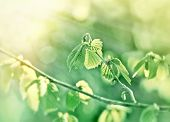 stock photo of fresh start  - Young fresh spring leaves illuminated with sun rays - new life starts, nature awakens ** Note: Shallow depth of field - JPG