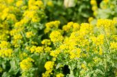 image of rape-seed  - Rape blossoms - JPG