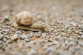 stock photo of creeping  - Close up of a land snail creeping across a pebble surface - JPG