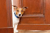 stock photo of jacking  - jack russell terrier dog at the door at home watching the house - JPG