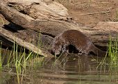 image of mink  - Glossy brown mink ready to enter lake - JPG