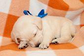 picture of sleepy  - adorable yellow sleepy labrador puppy on plaid background - JPG