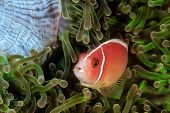 picture of skunk  - Skunk Clownfish in a green anemone in asia - JPG