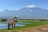 picture of kilimanjaro  - Zebra on Kilimanjaro mountain background in National Park - JPG