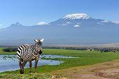 stock photo of kilimanjaro  - Zebra on Kilimanjaro mountain background in National Park - JPG