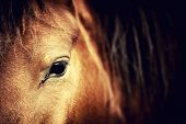 pic of arabian horse  - Close - JPG