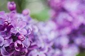 picture of violet flower  - Macro image of spring lilac violet flowers - JPG