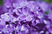 picture of floral bouquet  - Macro image of spring lilac violet flowers - JPG