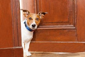 pic of dog-house  - jack russell terrier dog at the door at home watching the house - JPG