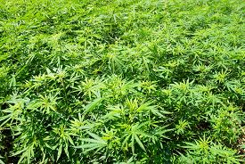pic of marijuana leaf  - Field of green marijuana (hemp) can be used for background.