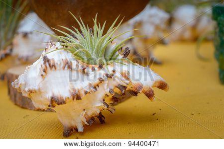 Tillandsia Plants