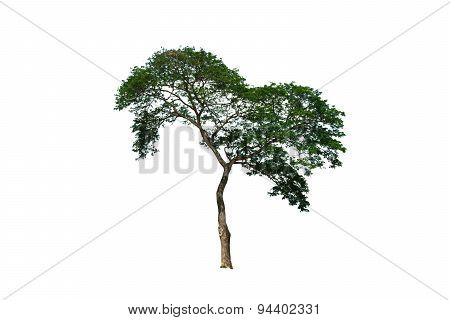 Big Tree Isolated Clipping Path
