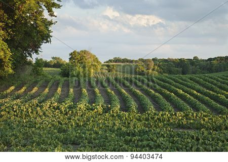 Rows Of Soybeans In A Field With Trees Late Afternoon