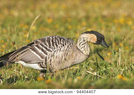Nene (Hawaiian Goose) Eating