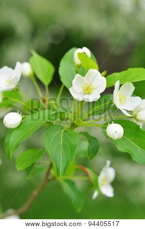 Bluring White Apple Flowers In Spring Time With Green Leaves