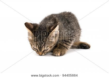 Gray Tabby Kitten Looking Down On White Background
