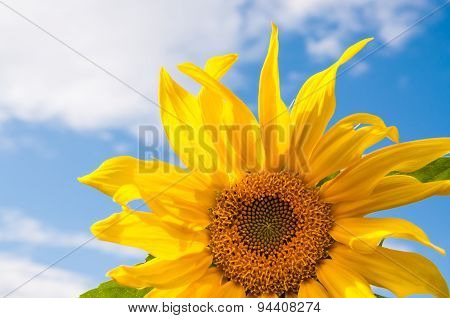 Beautiful Yellow Sunflower Against The Blue Sky