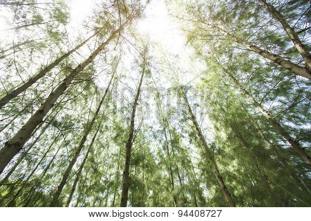 Pine Trees In The Forest With Sky