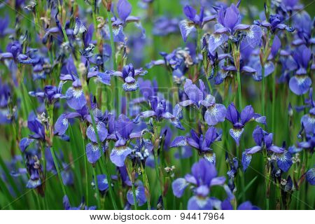 Field Of Iris Flowers