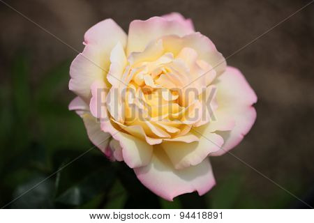 Tender Light Yellow Rose