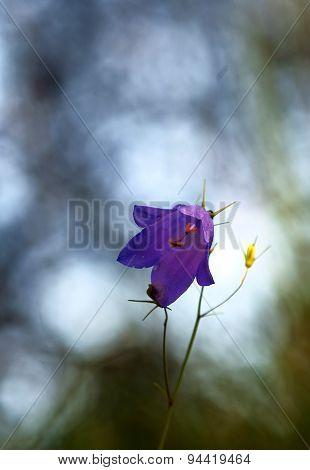 Closeup of bluebell flowers.