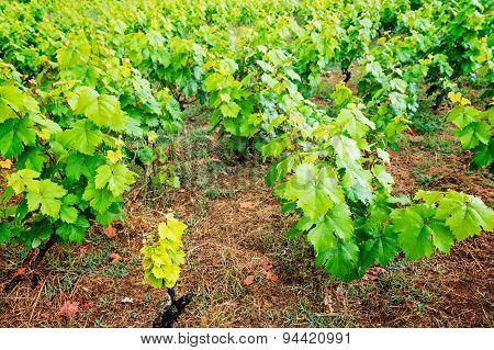 grape leaves plantation on Corfu