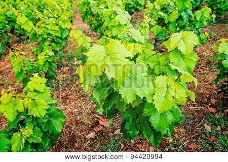 The vineyard in Corfu