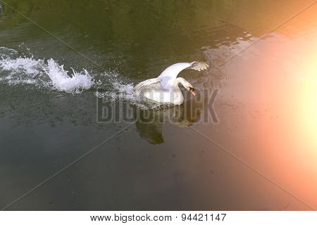 Beautiful Big White Swan