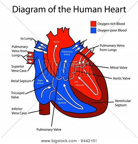 Famouscloudssvsm3c blogspot further Eye diagram unlabelled additionally 4675 besides Dibujo Para Colorear Corazon I16644 moreover 530. on circulatory system diagram to label and color