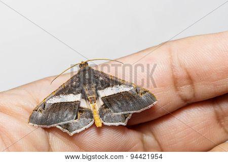 Semiothisa Eleonora Moth