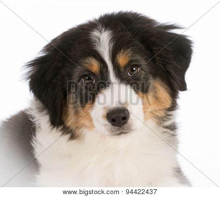 australian shepherd puppy portrait on white background
