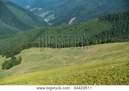 Herd Of Sheep On Pasture In Beautiful Spring Ukrainian Mountains