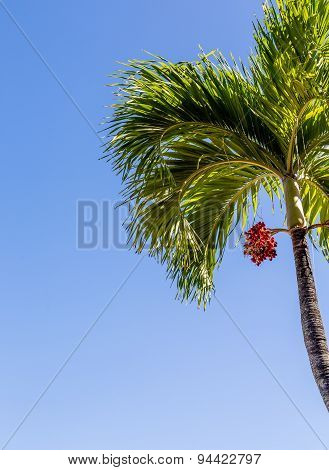 Palm Tree With Red Fruit And Blue Sky