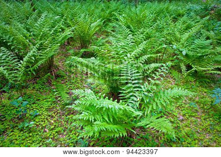 green fern leaves in the underwood of forest