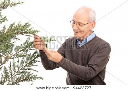 Studio shot of a cheerful senior man looking at the branches of a coniferous tree and smiling isolated on white background