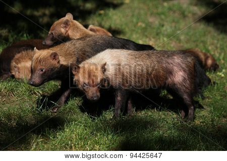 Bush dog (Speothos venaticus) on green grass. Wildlife animal.