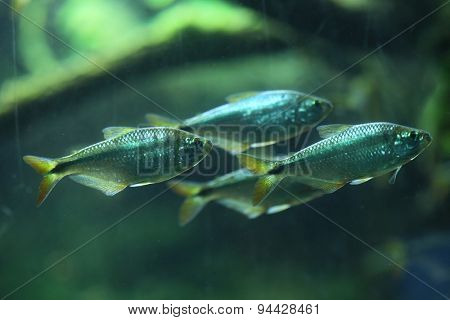 Mexican tetra (Astyanax mexicanus), also known as the blind cave fish. Wildlife animal.