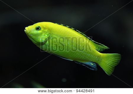 Canary cichlid (Labidochromis caeruleus). Wildlife animal.