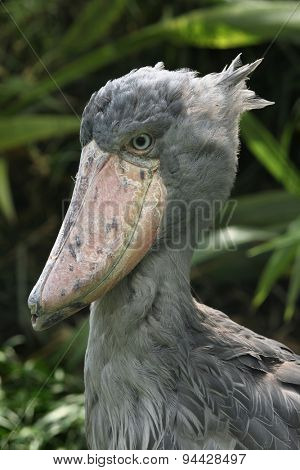 Shoebill (Balaeniceps rex), also known as the whalehead or shoe-billed stork. Wildlife animal.