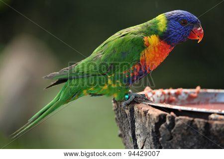Rainbow lorikeet (Trichoglossus moluccanus). Wildlife animal.