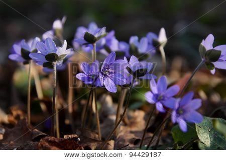 Cluster Of Hepatica Spring Flower