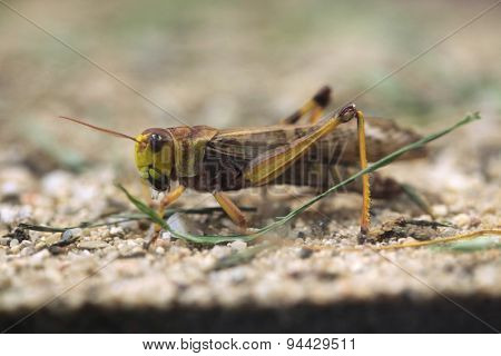 Migratory locust (Locusta migratoria). Wildlife animal.