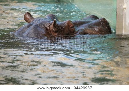 Hippopotamus (Hippopotamus amphibius) swimming in water. Wildlife animal.