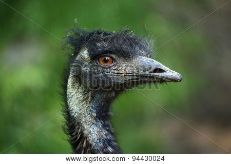 Emu (Dromaius novaehollandiae). Wildlife animal.
