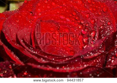 Rose With Droplets Macro