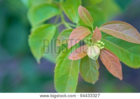 Purging Croton Or Croton Tiglium Linn With Leaves Sprout