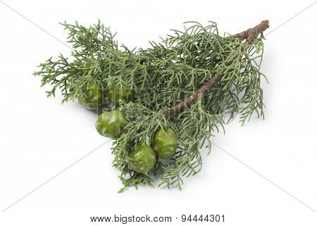 Twig of Mediterranean Cypress cones and foliage on white background