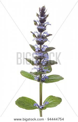 Flowering Ajuga plant on white background