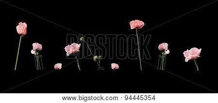 Pale Salmon Pink Poppies