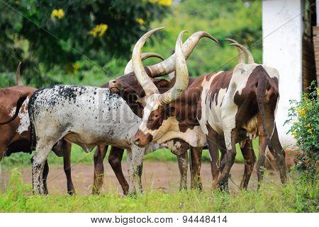 Flock Of Cows In Uganda
